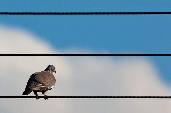 So what's the story with birds and power lines?